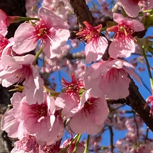ジャニー近くの大寒桜